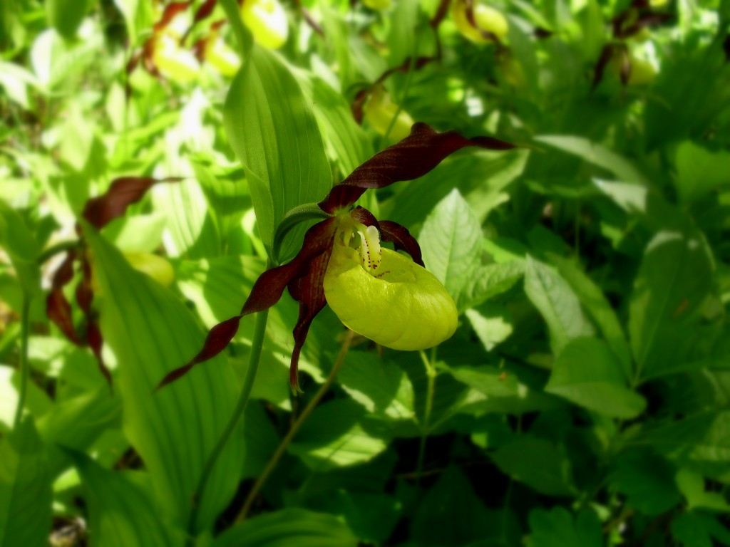 Livsfarlig flugfälla, Guckusko Cypripedium calceolus
