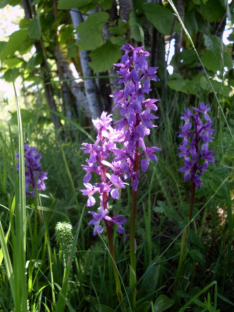 Sankt Pers nycklar Orchis mascula