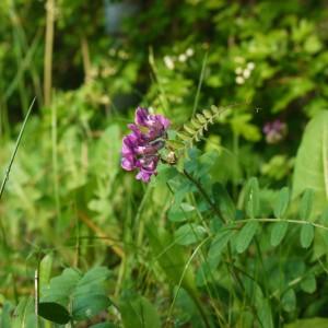 Häckvicker Vicia sepium