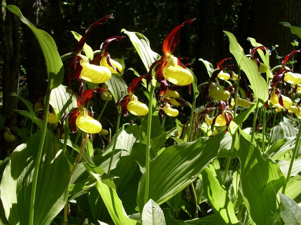 Guckusko Cypripedium calceolus, vackra som rosor, krispiga som tulpaner. Något ont inom mig vill plocka dem alla! Men aj aj, alla orkidéer i Sverige är fridlysta.